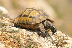 Testudo graeca on a rock. In a spring sunny day  spur thighed tortoise Stock Photo