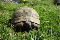 Testudo graeca - Turtle. In Macin Mountains, Dobrogea - some of the oldest mountains in Europe Stock Photography