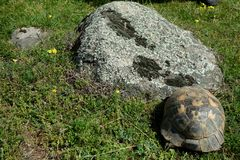 Testudo graeca - turtle. In Macin Mountains, some of the oldest mountains in Europe, in Dobrogea, Romania Stock Photo