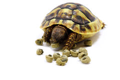 Testudo Hermanni Royalty Free Stock Images