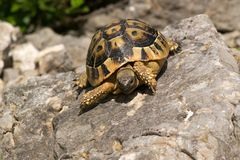 Testudo hermanni Royalty Free Stock Photo