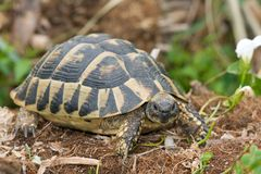 Testudo hermanni Stock Photo