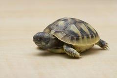 Testudo hermanni Hermanns tortoise Stock Image