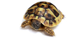 Testudo hermanni's baby Royalty Free Stock Images