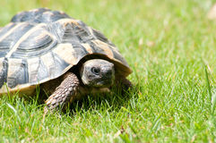 Testudo Hermanni turtle Royalty Free Stock Photo