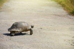 Testudograecasköldpadda - grekisk sköldpadda som passerar vägen royaltyfri foto
