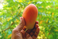 Testy Colorful Mango. On natural background Royalty Free Stock Photography