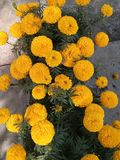 Tet in the countryside can not lack of marigold flowers royalty free stock images