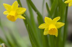 Tete a Tete Daffodil 1. Tette a Tete daffodils are miniature daffodils and are fragrant beauties that spread naturally and make great border plants for spring royalty free stock photo