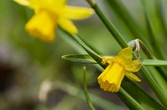 Tete a Tete Daffodil. Tette a Tete daffodils are miniature daffodils and are fragrant beauties that spread naturally and make great border plants for spring stock images
