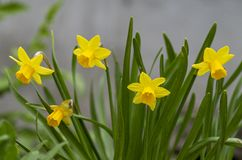 Tete a Tete Daffodil 2. Tette a Tete daffodils are miniature daffodils and are fragrant beauties that spread naturally and make great border plants for spring royalty free stock images