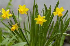 Tete a Tete Daffodil 3. Tette a Tete daffodils are miniature daffodils and are fragrant beauties that spread naturally and make great border plants for spring stock photo