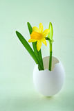 Tete a tete narcissus in a white egg shell Stock Image