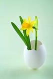 Tete un narcisse de tete dans une coquille d'oeufs blancs Image stock