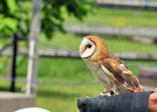 Tethered Barn Owl Royalty Free Stock Photos