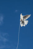 Tethered bird. A white pigeon testing its freedom at the weekly bird market in Istanbul, Turkey royalty free stock photography