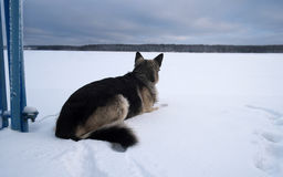 Tethered Dog Royalty Free Stock Photos