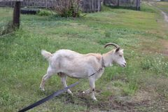 Tethered goat grazing in village 30721 Royalty Free Stock Image