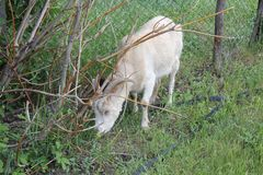 Tethered goat grazing in village 30716 Stock Photos