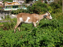 A tethered goat in the tropics Stock Photo