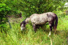 Tethered horse grazing in a grove Royalty Free Stock Photo