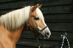 Tethered horse Royalty Free Stock Images