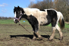 Tethered Muddy Black And White Horse Royalty Free Stock Photo