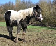 Tethered Muddy Black And White Horse Stock Photo