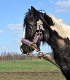 Tethered Muddy Black And White Horse Royalty Free Stock Photography