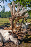 Tethered reindeer in northern Mongolia Stock Photo