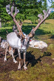 Tethered reindeer in northern Mongolia Stock Image