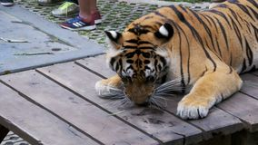 Tethered tiger in the park for taking photos with tourists. Pattaya, Thailand stock footage