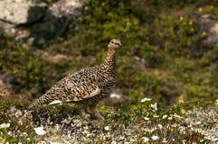 Tetirka. Teterka Transbaikal very beautiful bird lives in the wild Royalty Free Stock Photos