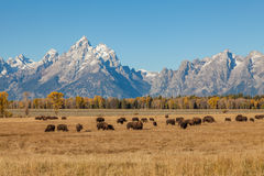 Teton Landscape and Bison Herd in Fall Stock Image