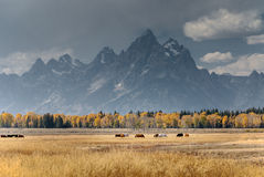 Teton mountains and horses autumn Royalty Free Stock Photography