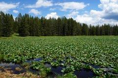 Teton NP 用荷花垫密集地盖的天鹅湖 库存图片