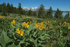 Teton sunflowers. Grand Tetons and Little Sunflowers Royalty Free Stock Image