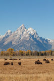 Tetons and Bison Herd in Fall Stock Photography