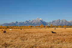 Tetons and Horses in Fall Stock Photo