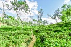 Teträdgård i Bangladesh Royaltyfri Bild