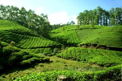 Teträdgård i Kerala Arkivfoton