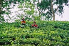 Teträdgård på Sylhet, Bangladesh royaltyfri fotografi