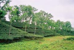 Teträdgård på Sylhet, Bangladesh Arkivbilder