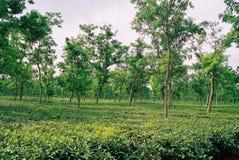 Teträdgård på Sylhet, Bangladesh Royaltyfri Bild