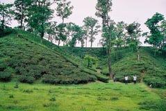 Teträdgård på Sylhet, Bangladesh royaltyfria foton