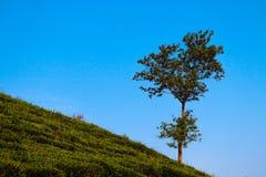 Teträdgård som kysser blå himmel royaltyfria bilder