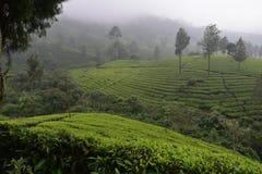 Teträdgårdar i Indien Arkivbilder