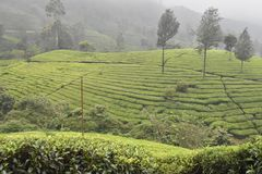 Teträdgårdar i Indien Royaltyfri Foto