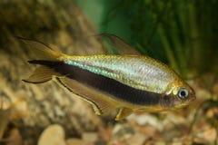 Tetra рыбы с черной нашивкой Стоковое Фото