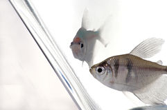 Tetra 2. Two tetra look through the glass of their fish tank stock image